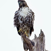 Red-tail Hawk, Nisqually Wildlife Reserve
