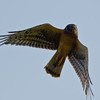 Northern Harrier Hawk, Ridgefield NWR