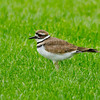 Killdeer, Nisqually Middle school grounds