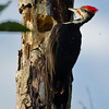 Pileated Woodpecker, Patterson Lake