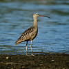 Long-billed Curlew, Budd Bay, Olympia WA (Thanks to Rod Gilbert onTweeters forum for the heads-up on this bird)