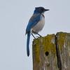 California Scrub Jay, Ridgefield NWR