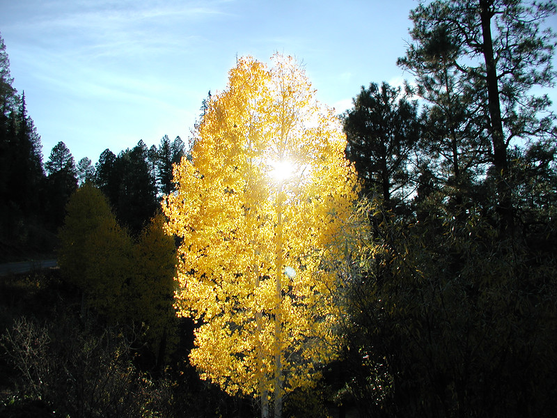 Beautiful Golden Aspen in the Afternoon Sun (PA150 (53)-BeautifulAspenInTheSun-2 copy.jpg)