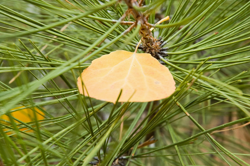 Closeup of a lonely Aspen leaf on a pine branch (ND70_2005-10-16DSC_2079-AspenLeafCloseupOnPine-2 copy.jpg)