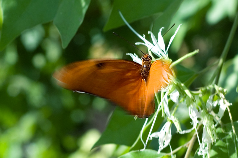 A Julia butterfly fluttering at the Phoenix Desert Botanical Gardens