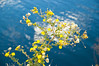 Wildflowers at Roosevelt Lake (ND70_2005-11-11DSC_2213-WildflowersOnTheLake-2 copy.jpg)