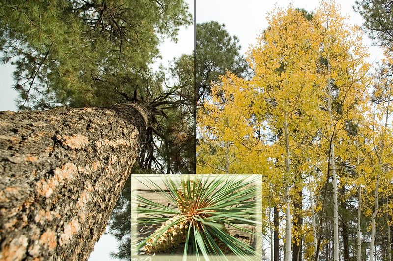 Pine and Aspen Fall Colors in Pinetop, AZ (ND70_2005-10-14DSC_1976-TallPineTrees-Collage-2064-3 copy.jpg)