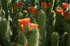 Cactus blooms at the Phoenix Desert Botanical Garden