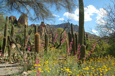 Wildflower garden (ND70_2005-04-09DSC_1293-SaguaroWildflowerGarden-nice-2.jpg)