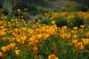 D200_2008-03-09DSC_5297-WildflowersSunCloseup-nice