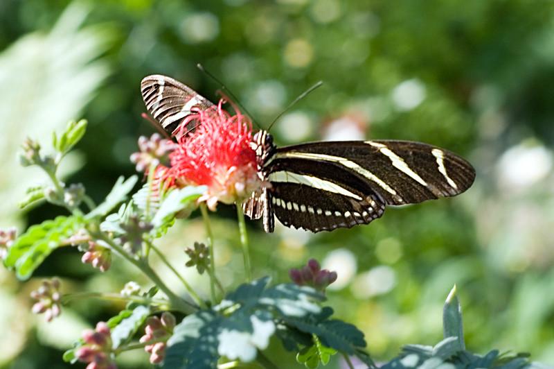 A Zebra Longwing butterfly at the Phoenix Desert Botanical Gardens
