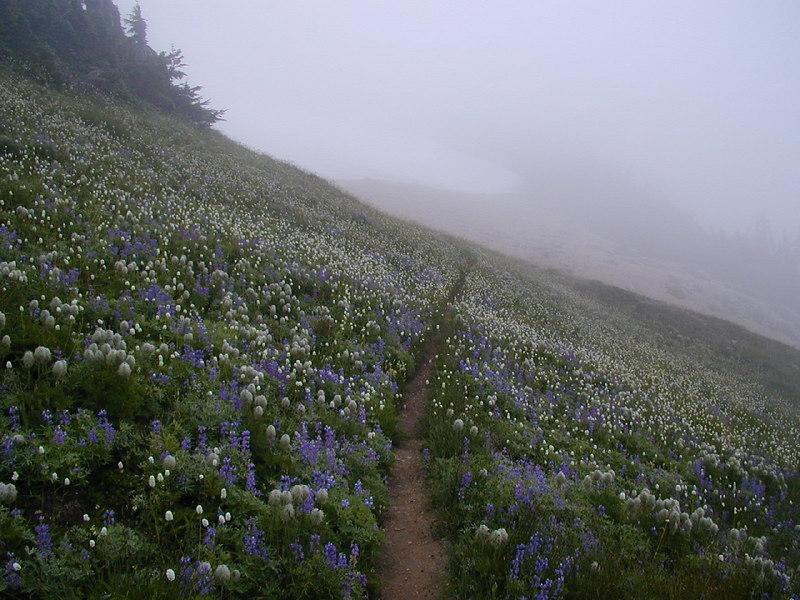 Lupine and Bistort in bloom. Ptarmigan Ridge near Mt Baker