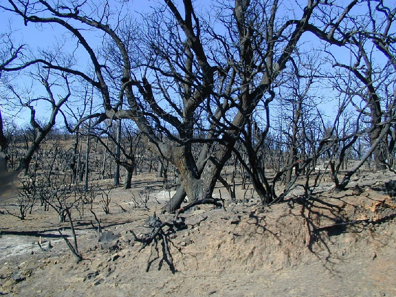 Damage from the 2003 wildfires along highway 79 in the Cuyamaca Rancho State Park. December 2003