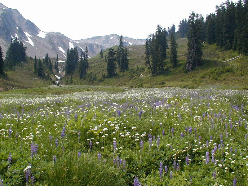 Meadow in bloom along the upper White Chuck River. August 2004