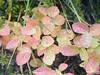 Dew on Huckleberry fall colors. Vesper Peak