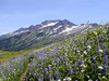 Lupine & Sitka Valerian in bloom. Indian Head Peak in the backgroud. August 2004.