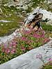 Pink Monkeyflower below Yellow Aster Butte. North Cascades