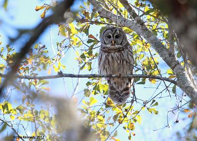 Barred Owl Davenport Landing, Oklawaha River, Florida
