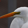 Great Egret<br /> Salt Springs, Florida