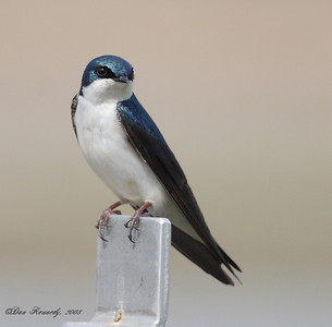 Tree Swallow Niven Lake, North West Territories