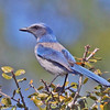 Florida Scrub Jay<br /> Yearling Trail, Florida