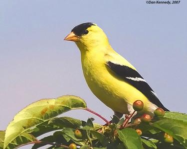 American Goldfinch Vernon River PEI