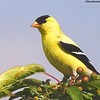 American Goldfinch<br /> Vernon River PEI