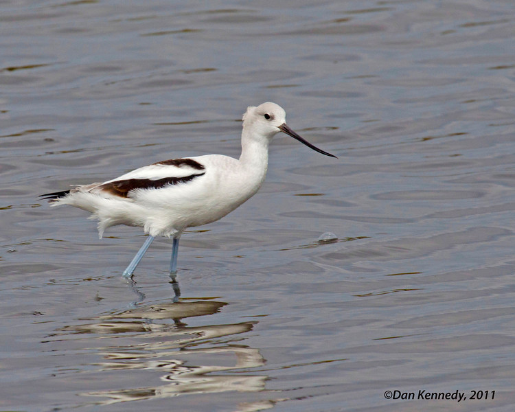 American Avocet<br /> I took me quite a long time before I got a shot that i liked of this species.