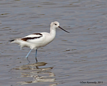American Avocet I took me quite a long time before I got a shot that i liked of this species.