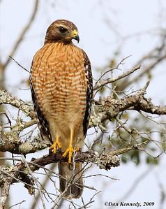 Red-shoulder Hawk Salt Springs, Florida