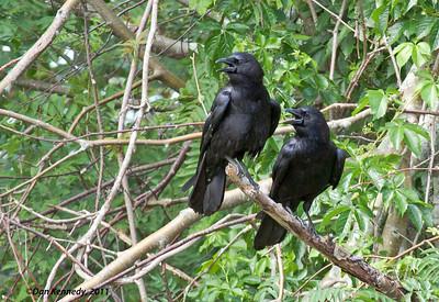 American Crows Vernon River PEI