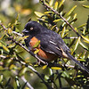 Eastern Towhee<br /> Yearling Trail, Florida