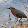 Green Heron<br /> Canaveral National Seashore, Floirda