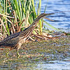 American Bittern<br /> The first bittern that I managed to photograph.     I was very pleased and excited.