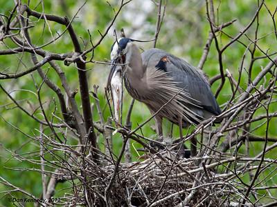 Great Blue Heron Homossasa Springs, Florida Feeding baby.