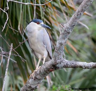 Black-crowned Night-Heron Salt Springs Run, Florida