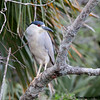 Black-crowned Night-Heron<br /> Salt Springs Run, Florida