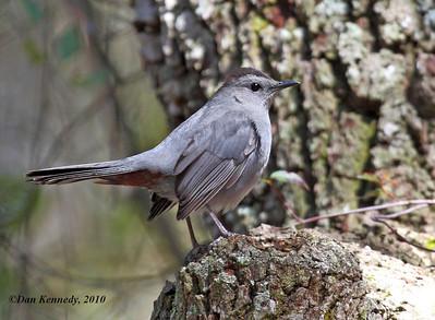 Gray Catbird Salt Springs, Florida