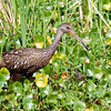 Limpkin<br /> Salt Springs Run, Florida