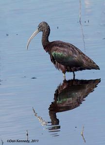 Glossy Ibis Lake Woodruffe NWR, Florida