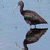 Glossy Ibis<br /> Lake Woodruffe NWR, Florida