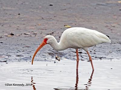 White Ibis Merritt Island NWR, Florida