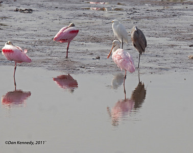 Roseate Spoonbill Snowy Egret and Reddish Egret in background. Canaveral National Seashore, Florida