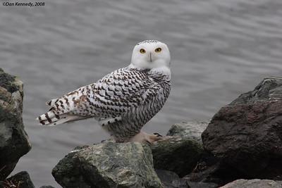 Snowy Owl Charlottetown, PEI
