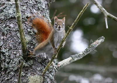 Eastern Red Squirrel