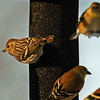 Pine Siskins and goldfinches at the feeder