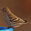 Pine Siskin at the bird bath