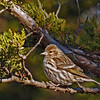 Pine Siskin in Cedar tree
