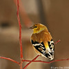 Goldfinch with elongated upper mandible