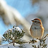 Tree Sparrow in the snow